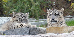 Snow Leopard Cubs (FitchDnld) Tags: clevelandmetropakszoooctober222018 snow snowleopard animal mammal cleveland clevelandohio clevelandmetroparkszoo clevelandzoo clevelandmetroparks metroparks zoo ohio ohiozoo leopard feline cat big bigcat cub baby