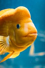 Güldener Fisch (UsualRedAnt) Tags: berlin fisch deutschland zoologischergarten f28 aquarium sigma35mmf14art tier canon zoo natur 70d germany