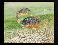 Longear Sunfish (M.P.N.texan) Tags: fish sunfish longear minnow minnowa texasshiner freshwater texasnative acrylic paint paints handpainted original mpn