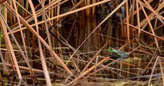 The Lord Of Little Things (MPnormaleye) Tags: frog toad amphibian creek pond stream water reeds utata telephoto zoom garden nature