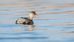 Little grebe (JS_71) Tags: nature wildlife nikon photography outdoor bird new winter see natur pose moment outside animal flickr colour poland sunshine beak feather nikkor d7500 wildbirds planet global national 600mm water pond