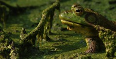 master of his domain 2 (don.white55 That's wild...) Tags: americanbullfroglithobatescatesbeianus donpwhitephotography canoneos70d canon55250mm efs55250mmf456is animal amphibian frog herpetology harrisburgwildlife wildwoodlake wildlife wildwoodpark wildwoodnaturepreserve harrisburgpennsylvania donwhite dauphincounty duckweed deadwood eye fallentree green herp bog marsh nature outdoors oldpennsylvaniacanal pennsylvania pennsylvaniacanal swamp