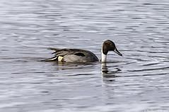 pintail (blackfox wildlife and nature imaging) Tags: nikon d300s sigma150600c birds burtonmerewetlands rspb wirral pintail