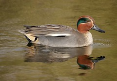 Teal (PhotoLoonie) Tags: duck teal wildlife nature waterreflection waterbird attenboroughnaturereserve tealduck bird