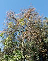 IMG_1326 (jaglazier) Tags: 122018 2018 cerrosantalucia chile december deciduoustrees pink santalucia santiago trees urbanism cities copyright2018jamesaglazier floweringtrees gardens parks