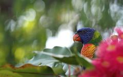 Hidden in plain sight (RJAB2012) Tags: trichoglossusmoluccanus rainbowlorikeet parrot sydney australia bokeh gum corymbia summerred eucalyptus