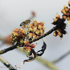 First Food (Make human well-being your hobby) Tags: ahorn bienen insekten natur pflanzen coth coth5