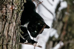 Beginning Descent (psdenbow) Tags: cat caturday feral feline canon tamron tamron150600