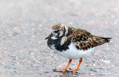 Icelandic Turnstone (pootlepod) Tags: canon 7dmkii wildlife pied wagtail piedwagtail turnstone iceland feather legs raw naked male female wings visitor car ariel lift hitching waiting winter spring coast inland birds fowl beak bill winged eyes natural nature rspb resrve devon southwesy england uk