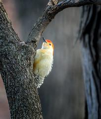 Dawn Birdie (Portraying Life, LLC) Tags: cropapsc dbg6 hddfa150450 k1mkii michigan pentax ricoh unitedstates bird closecrop handheld nativelighting backyard dawn