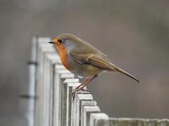 Robin (Simply Sharon !) Tags: robin bird wildlife britishwildlife gardenbird nature inthegarden gardenvisitor march