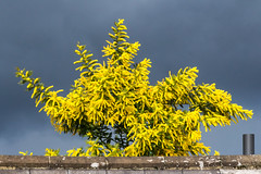 Contrast (201903014) (Graham Dash) Tags: addlestone mimosa clouds shrubs yellow