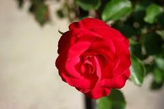 Wettra      Foca Oplex  1:3.5  f=3.5cm (情事針寸II) Tags: bokeh rouge red 赤 クローズアップ 自然 花 薔薇園 薔薇 tessar oldlens closeup nature fleur flower kasselcoloma rosegarden rose focaoplex135f35cm