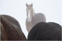 horses (an to nin) Tags: chevaux cheval horses brume frog campagne