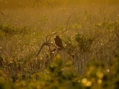 Northern Harrier and gold specks of flying insects (stonebird) Tags: northernharrier circushudsonius ballonawetlandsecologicalreserve areaa march img1923