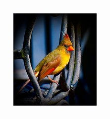 How the Light Gets In (George McHenry Photography) Tags: birds songbirds cardinal northerncardinal femalecardinal southcarolinabirds southcarolina