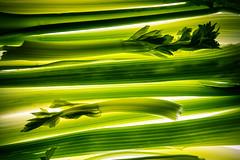 celery (auntneecey) Tags: celery backlight tabletop vegetables fullframe foodasart 365the2019edition 3652019 day80365 21mar19