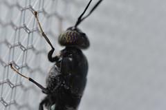 DSC_3195_00001 (redfish1957) Tags: nikond7500 nikon85mmmicro fly flies eyes macro