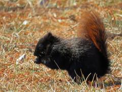 IMG_2148-1 (lbj.birds) Tags: kansas nature flinthills wildlife squirrel easternfoxsquirrel melanisticeasternfoxsquirrel