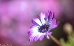 A portrait (frederic.gombert) Tags: flower flowers pink light color spring sun macro daisy sunlight nikon