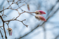 Our Magnolia is Starting to Pop (John Brighenti) Tags: outside outdoors nature sunny weather spring rockville maryland march sony alpha a7rii ilce7rm2 ilce nex emount femount zoom lens 70300mm gseries sel70300g telephoto md twinbrook backyard bealpha sonyshooter bloom flower petals magnolia tree branches bokeh sticks pods sky blue pink purple magenta