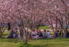 Hanami in Munich - HTMT! (suzanne~) Tags: hanami sakura cherryblossom japanese munich bavaria germany petuelpark tree picnic celebration tradition custom tmt treemendoustuesday