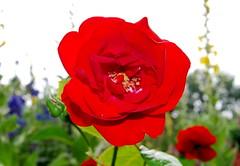 Kommt, ihr Seelen, nehmt zu Herzen (amras_de) Tags: rose rosen ruža rosa ruže rozo roos arrosa ruusut rós rózsa rože rozes rozen roser róza trandafir vrtnica rossläktet gül blüte blume flor cvijet kvet blomst flower floro õis lore kukka fleur bláth virág blóm fiore flos žiedas zieds bloem blome kwiat floare ciuri flouer cvet blomma çiçek