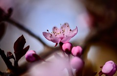 _DSC7414 Can't wait to say hi to spring (christinachui79) Tags: flickrnature naturephotography macrophotography cherryblossoms springblossom springflower spring light flower blossoms floral beautiful nature bokeh pink closeup nikon macro