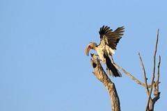 Southern yellow-billed hornbill (peet-astn) Tags: dinokeng dinokenggamereserve southafrica abendruhelodge wildlife bush southernyellowbilledhornbill southern yellowbilled hornbill
