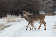 (Prairie_Wolf) Tags: inglewoodbirdsanctuary deer birding calgary alberta yyc rachelmackayphotography