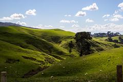 Kiwi Countryside (peterreading) Tags: nz newzealand rolling countryside hills rollinghills farm farmland nature natural graze hobbit hobbiton tourist tourism movie film set filmset location lordoftherings lotr thehobbit longwhitecloud kiwi