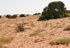 les dunes rouges du Kgalagadi et le squelette (safrounet) Tags: ktppaysages kgalagadi southafrica afriquedusud aride arid semiaride semiarid sable sand rouge red trace track vie dune emprunte piste ktp kgalagaditransfrontierpark