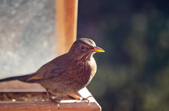 deryn du-5694 (www.atgof.co) Tags: blackbird aderyn du