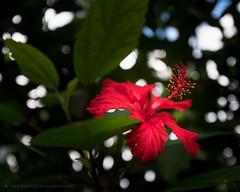 Hibiscus in El Yunque (josefrancisco.salgado) Tags: 1635mmf4gvr antillasmayores d810a elyunquenationalforest greaterantilles nikkor nikon puertorico sierradeluquillo westindies bosquepluvial flor flora flower hibisco hibiscus rainforest ríogrande pr