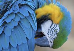 Blue-and-Gold Macaw (TomLamb47) Tags: nature wildlife bird parrot blueandgold blueandyellow macaw gatorland orlando florida canon 1d4 100400mm