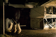 Clydesdales (Jen MacNeill) Tags: horse farm animals stable barn light clydesdale draft horses equine