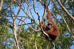 Orangutan in borneo 3 (Aerisabel) Tags: indonesia orangutan animal wild nature borneo travel asia tree forest wood bear tanjung puting