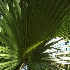 Mesmerized By the Green Beauty of Nature (soniaadammurray - On & Off) Tags: digitalphotography trees palmfrond sky branch nature exterior spotlightyourbestgroup macro macromondays artchallenge green light