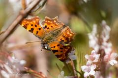 C-Falter (Polygonia c-album) (renate.marquardt) Tags: 2019 frühling insekten park parkanlage schmetterling tiere wasserpark wien insects butterfly animals springtime