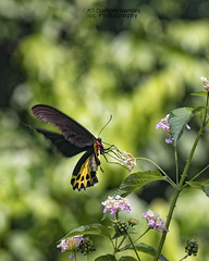 Southern Birdwing (diamondwarrior) Tags: birdwing butterfly butterflies northeast india doars wingsclosed flying flyinginsects flyinginsect nectaring biggest yellow bokeh papillons papillon papilionidae diamondwarriors diamondwarriorsphotography