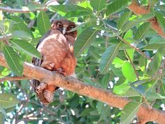 Ninox rufa rufa 2 (ntfafl) Tags: charles brown botanical gardens darwin nt barry m ralley barrymralley
