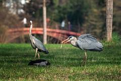 Herons in a park (THW-Berlin) Tags: reiher herons birds animals vögel tiere bridge sony alpha6500 aves
