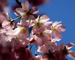 cherry blossom delight (lualba) Tags: kirschblüten cherryblossoms leipzig germany sky himmel blue blau pink
