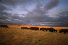 Bison in South Dakota (JC Richardson) Tags: greatplains midwest prairie plains bison ranch sunset stampede running clouds buffalo