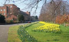Voorjaarsbode in Den Haag (Roel Wijnants) Tags: ccbync roelwijnants roelwijnantsfotografie roel1943 groen bomen perk plantsoen bloemen narcis geel huizen 2019 absoluteleythehague hofstijl wandelen fietsen denhaag thehague leesdegebruiksvoorwaarden cityilove