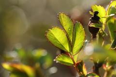 Rose Leaf (gripspix (Easter Break 4 Family)) Tags: 20190410 plant pflanze rose leaf blatt bokeh
