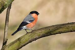 Bullfinch (sumowesley) Tags: bird bullfinch fauna nature oldmoor