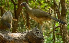 Plain Chachalaca (phoca2004) Tags: cameroncounty birds birding z6 texas losfresnos nikon lagunaatascosanationalwildliferefuge unitedstatesofamerica us