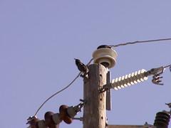 power bird (SheilaMink) Tags: bird bolts pole wires insulators sunlight shadows september morning blue sky brown black gray top looking beak newmexico southwest sooc nopostprocessing