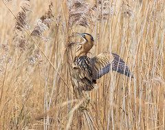 (Rick Thornton Photography) Tags: gosforthpark bittern